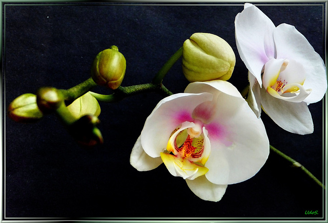 Second blossom has opened... ©UdoSm