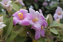 Lagunaria patersonia, Primrose tree