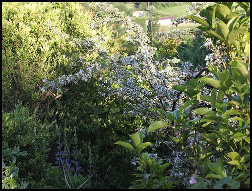 Sophora davidii (2)