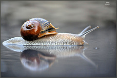 ~ Slimy visit ~ with a reflection as a surprise of this guy.....