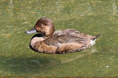 Female red head duck