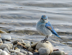 Mountain Bluebird from three years ago