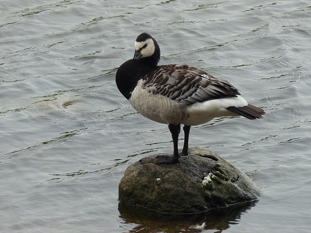 Barnacle Goose (1) - 1 August 2016