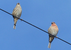 House Finch Pair - 16 October 2016