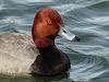 Redhead male