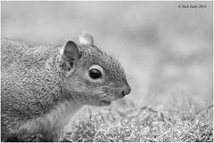 51 shades of.......Grey Squirrel