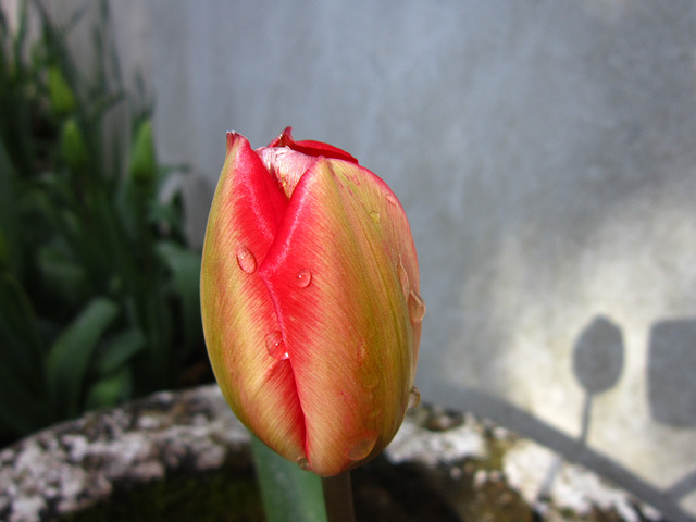 New tulip emerging