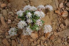 Paronychia argentea Lam. var. angustifolia var. argentea, Caryophyllales