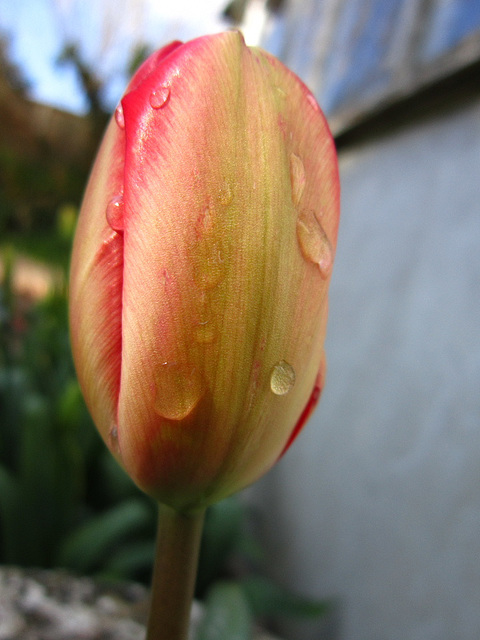 Lovely new tulip after a small shower