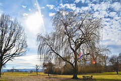 Willow and sun
