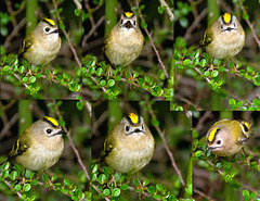 The Goldcrest family are back in residence in the Cotoneaster bush
