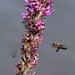 IMG 3713 Bee dpp