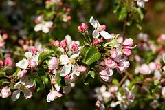 wenn die Äpfel so süß werden wie die Blüten schön ...