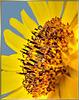 Center of an sunflower... ©UdoSm