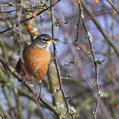Robin in the morning light