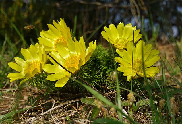 Frühlings-Adonisröschen  - Adonis vernalis - Mit PiP