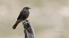Rougequeue noir - Black Redstart (juvénile)