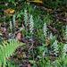 Goodyera pubescens (Downy Rattlesnake Plantain orchid)