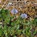 Globularia cordifolium, Herzblätterige Kugelblume - 2017-06-01_D500_DSC1771