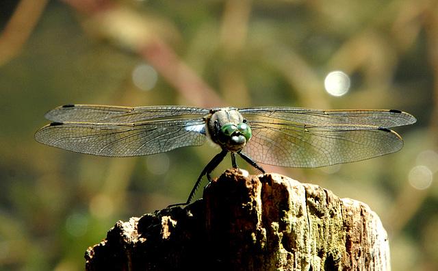 Libelle (Großer Blaupfeil?) auf einem Baumstumpf