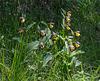 Cypripedium calceolus, Frauenschuh - 2017-06-01_D500_DSC1780