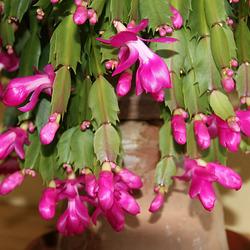 Weihnachts-Kaktus