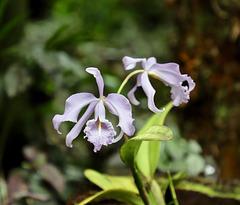 IMG 4428-Quelques orchidées