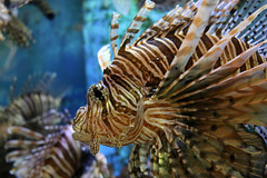 Lionfish (Explored)