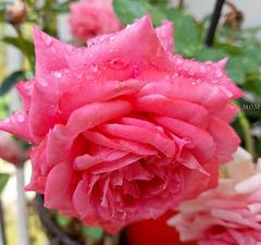 Ma rose emperlée**************de pluie pour vous et tous ceux qui souffrent!