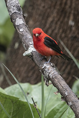 A gorgeous male Scarlet Tanager (Piranga olivacea) (2)