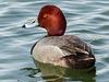 Redhead male / Aythya americana