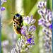 Hummel auf Lavendel. ©UdoSm