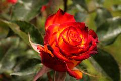 Rote Rose im Sonnenlicht