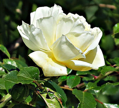 Rose blanche pour Jhonny !