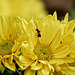 _B061913 Copy_DxOdL · Chrysanthemum