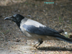 Hooded Crow (Corvus cornix) M19 01