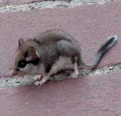 L comme LEROT (Dormouse in the middle of the street in Alsace)