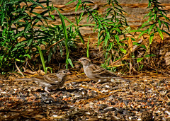 9105421dL Two sparrows