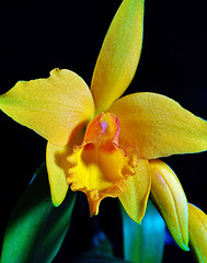 My Gold Orchid