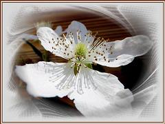 Rubus sectio Rubus Blüte. ©UdoSm