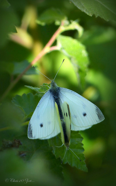 Small white butterflies ~ Klein koolwitjes (Pieris rapae) in Love ♥ ...