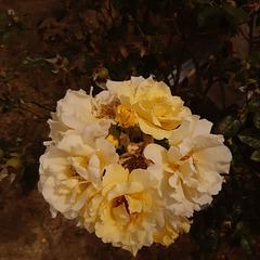 Un bouquet de roses (photo envoyée par un ami très cher, le 8 août 2020)