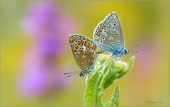 Mating Common blue...