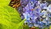 Blue Hydrangea after the rain