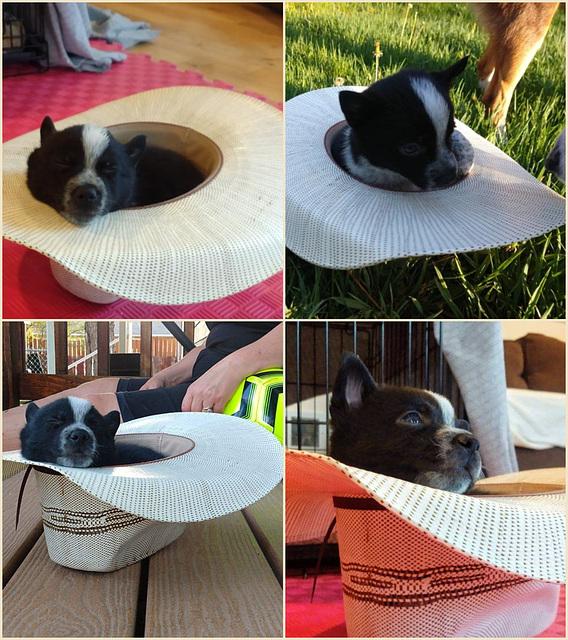 Little Ernie sleeps in a hat