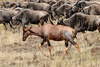 A topi among the wildebeest
