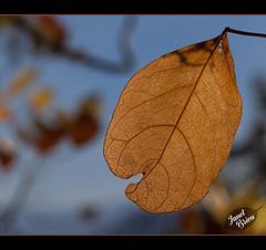 12/366: Autumn Gold