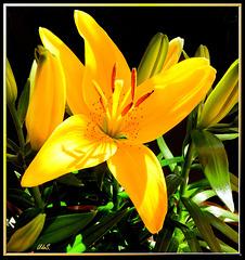 Gartenlilie. ©UdoSm