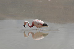 Bolivian Altiplano, Flamingo and Its Reflection in the Laguna Hedionda