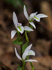 Triphora trianthophoros (Three-birds orchids)